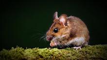 Wild Wood Mouse (Apodemus Sylv...