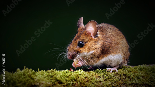 Wild wood mouse (Apodemus sylvaticus) on a moss-covered branch.