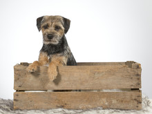 Border Terrier Dog Sitting In An Antique Wooden Apple Box. Image Taken In A Studio.