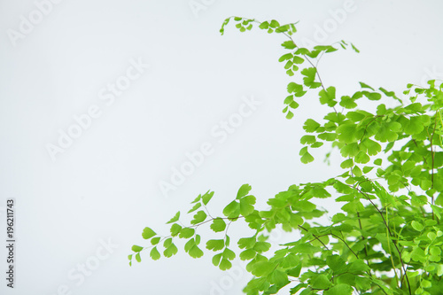fresh green maidenhair fern leaves close up on white can be used as background