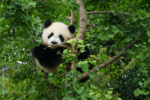 Deurstickers Panda young panda in a tree
