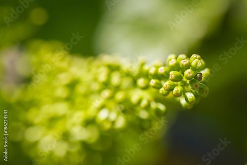 Fotografía  Jeune inflorescence de raisin blanc dans les vignes en Alsace