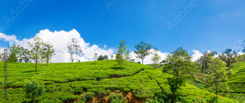Deurstickers Asia land Green plantation of Ceylon tea.