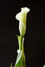 White Calla Lily Flower On A Black Background.