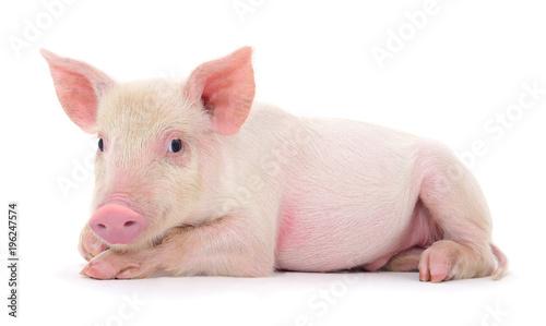 Fotomural Pig on white
