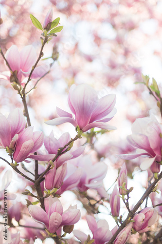 Foto op Plexiglas Magnolia Close up of magnolia blossoms with blurred background and warm sunshine