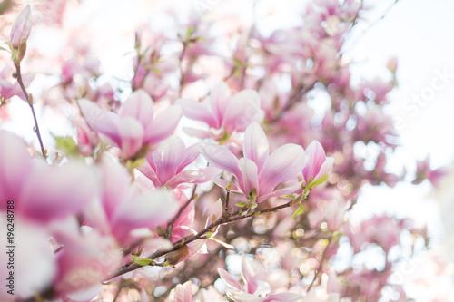 Tuinposter Magnolia Magnolia blossom in soft evening light