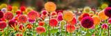 Fototapeta Kwiaty - Bursts of Color