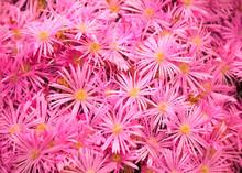 Flowering Plant In Aizoaceae F...