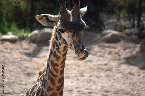 Angolan giraffe sticking its tongue in its nose Poster