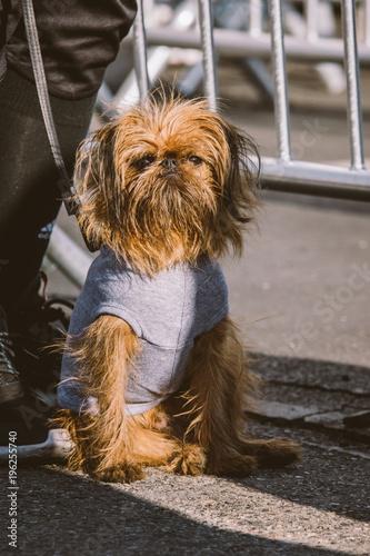 Fotografie, Obraz  Brussels Griffon dog sitting in sun