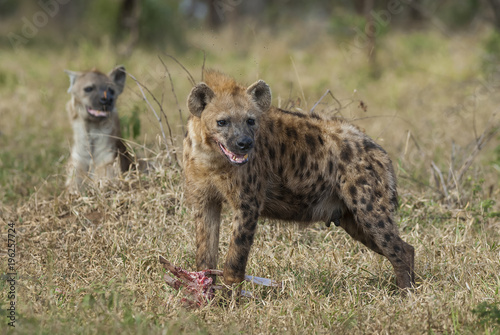 In de dag Hyena Hyena eating, Africa