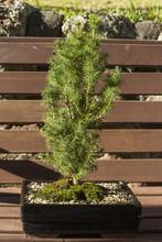 Picea Glacua