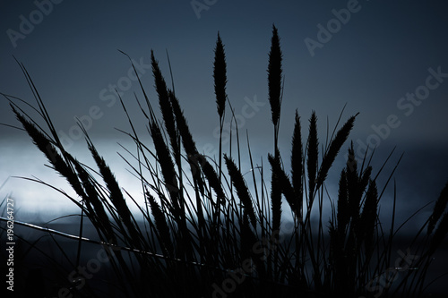 Valokuva  Cornstalks on a dune at moonlight