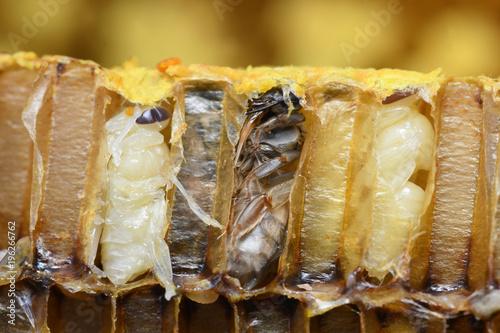 Fotografía  Pupa Honey Bee in bee hive.
