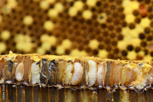 Pupa Honey Bee in bee hive.