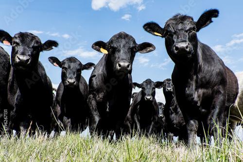 Fotografía Black Angus herd - low angle