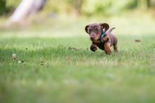 Dachshund Puppy Running In Grass