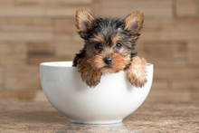 Yorkie Puppy In A Bowl Looking...
