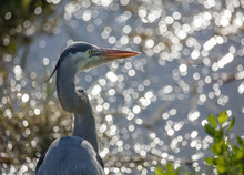 Great Blue Heron Looks Over A Shimmering Lake At Sunset