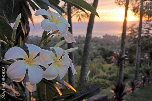 La pose en embrasure Frangipanni Plumeria flowers grows in Rarotonga Cook Islands