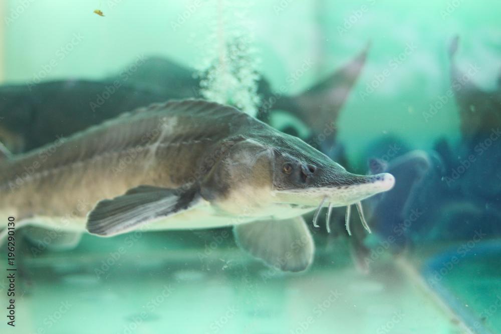 Живой осетр в аквариуме на рынке