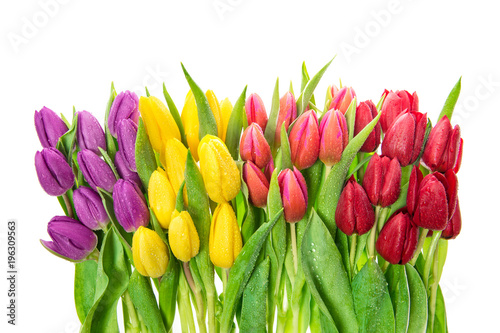 Poster Tulp Spring flowers water drops Fresh tulips white background