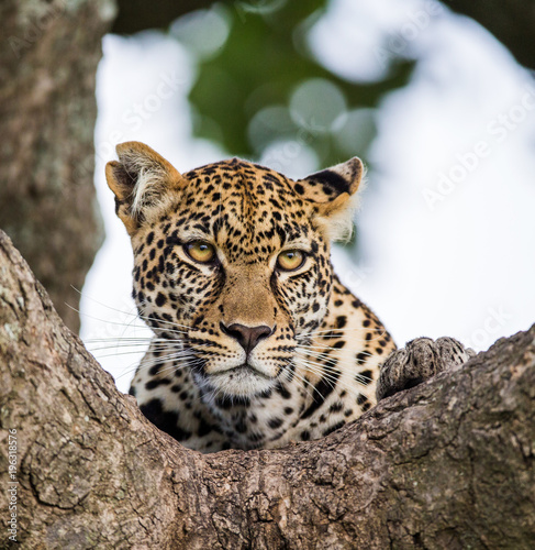 Tuinposter Luipaard Portrait of a leopard on a tree. Close-up. Classical picture. National Park. Kenya. Tanzania. Maasai Mara. Serengeti. An excellent illustration.