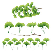 Ginkgo Biloba Leaves And Branch Collection. Vector Illustration