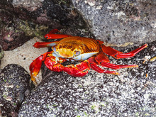 Sally Lightfoot Crab On Galapa...