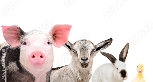 Portrait of cute farm animals, closeup, isolated on white background