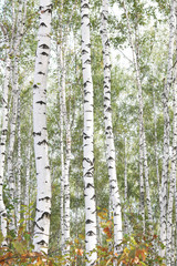 Fototapeta Beautiful birches in forest in early autumn