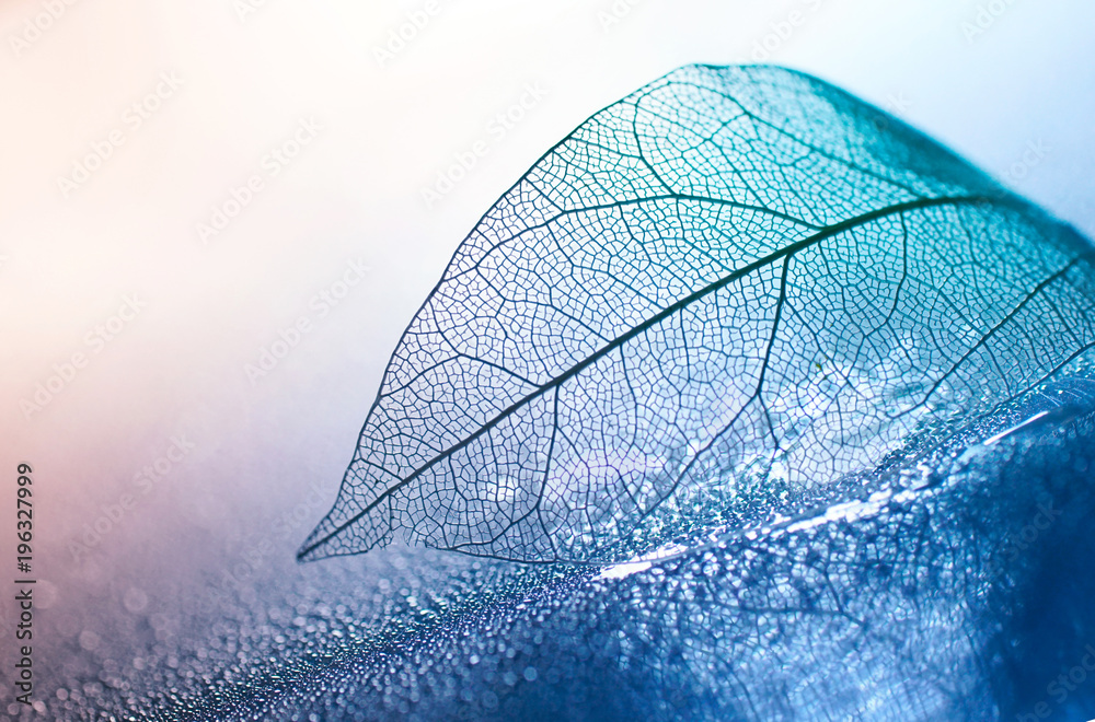 Fototapeta Transparent skeleton leaf with beautiful texture on a blue and pink background, glass with shiny water drops close-up macro . Bright expressive artistic image nature, free space.