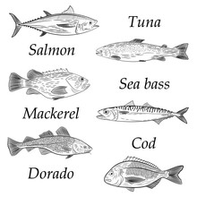 A Set Of Painted Popular Sea Fish. Salmon, Tuna, Cod, Mackerel, Dorado, Sea Bass. Sketch Of Drawing On White Background, Vector Illustration