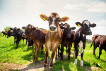 Ayreshire Cattle At Pasture In Southern England UK