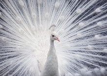 White Peacock Showing Off His ...