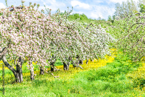 Apple Orchard With Many Blooming Trees With White And Pink Flowers