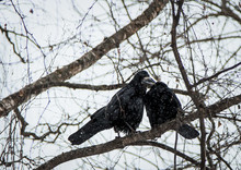 Two Ravens Sit And Kiss On A Tree Branch In Winter