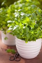 Fresh Basil Parsley Mint Herbs In Garden