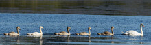 Family Of Mute Swans Panorama, The Juveniles Following The Mother Swan
