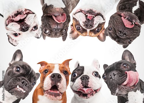 Poster Bouledogue français French bulldogs isolated over white background