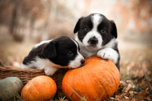 Funny Welsh Corgi Pembroke Puppies Dogs Posing In The Basket With Pumpkins On An Autumn Background