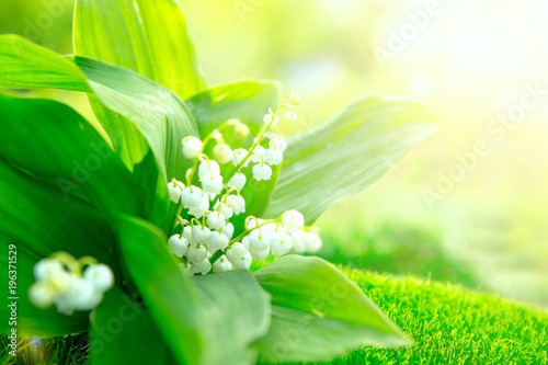 In de dag Lelietje van dalen Flower lily of the valley growing in forest in spring closeup, natural background