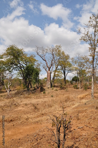 In de dag Baobab The African landscape. Baobab. Zimbabwe