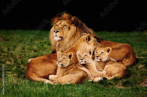 Valokuvatapetti Lion family lying in the grass