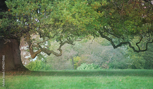Canvas Prints Trees Old Craggy Oak Tree - beautiful wide tree trunk on left side with vast hanging branch reaching across and a gap beneath providing copy space