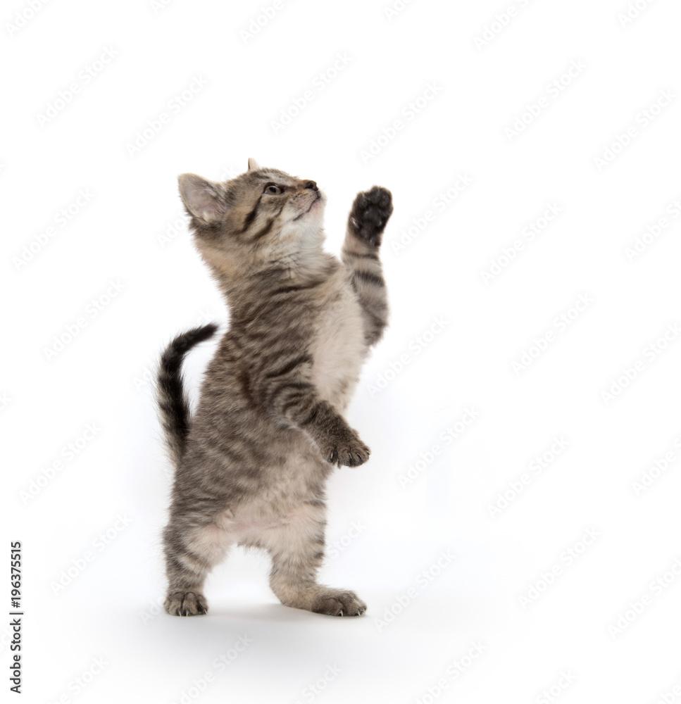 Fototapeta Tabby kitten on hind legs