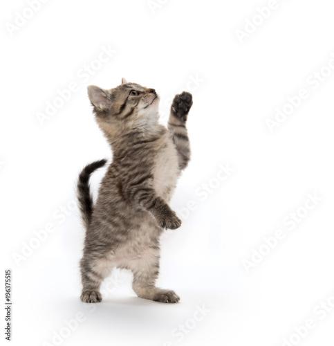 Tabby kitten on hind legs Fototapeta