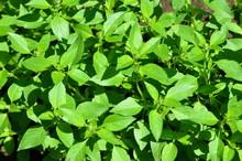 Grass Lemon Basil.