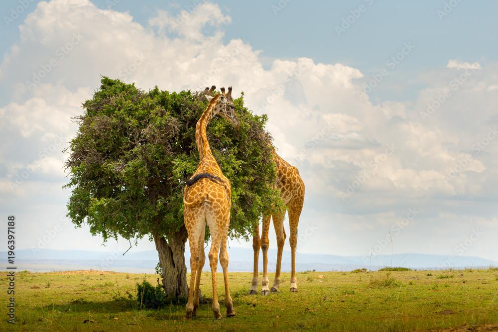Two Giraffes in Masai Mara, Kenya